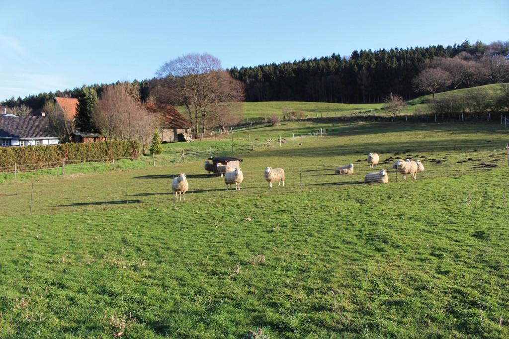 Koller-Schafe