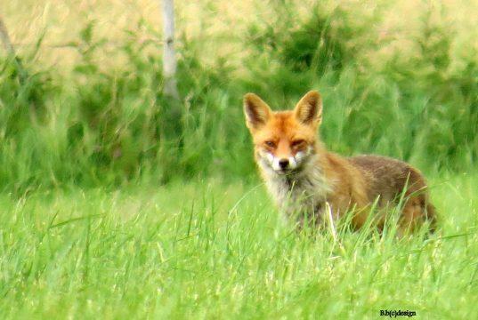 Lust auf Eifel Fuchs