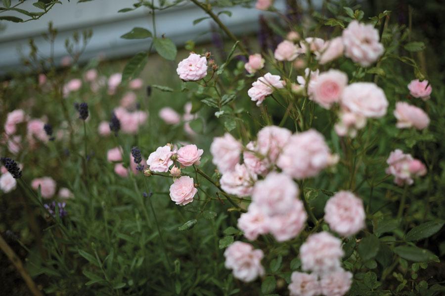 Eifeltraum - die Rose der Rosenfreunde Aachen