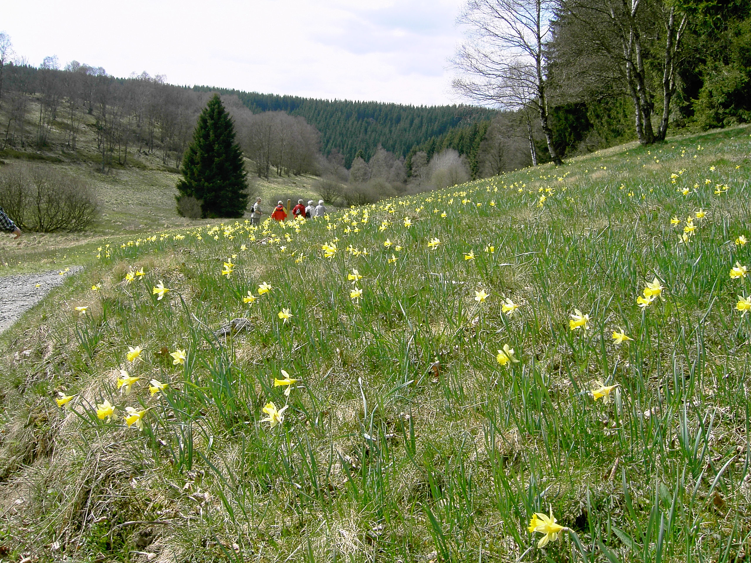 Narzissenwiesen im Perlenbachtal