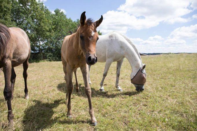 El Sadeek Arabians in der Eifel haben mal wieder Nachwuchs.