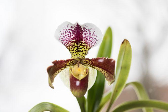Orchideenfreunde Aachen Dreiländereck e.V.